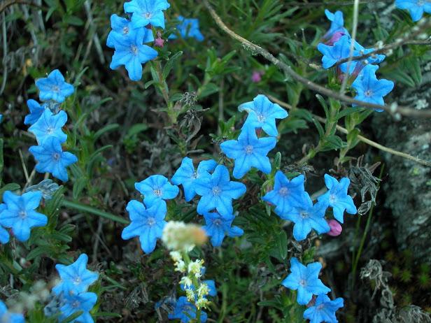Lithodora prostrata (Loisel) Griseb. Herba das donas.