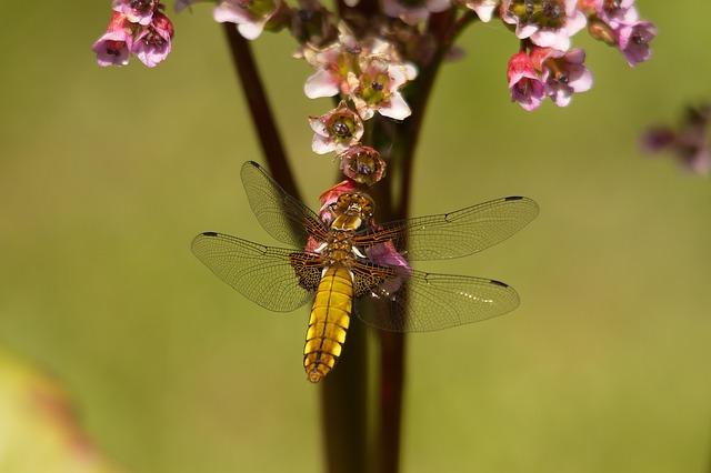 libelula-de-oro-insecto-belleza