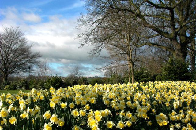 bath_daffodils_01