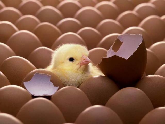pollito-entre-huevos