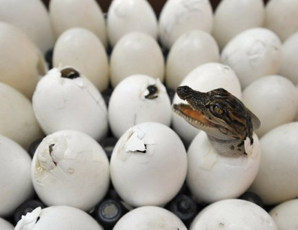 Crocodile_Eggs