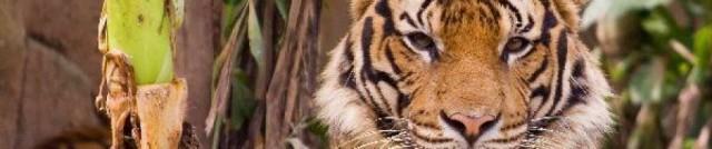 cropped-tigre9
