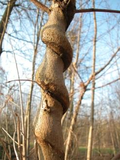 Les Petites Herbes-Chèvrefeuille des bois (Lonicera periclymenum L.)-Caprifoliacées  (2)