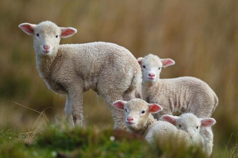 little-lambs-ronai-rocha