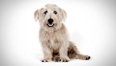 glen-of-imaal-terrier_01_lg