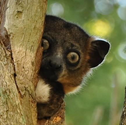 hubbards-sportive-lemur-sq