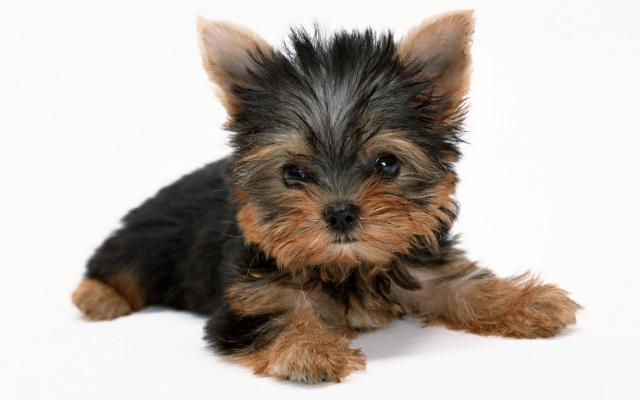 yorkshire-terrier-001